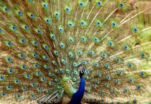Il pavone e la sua coda