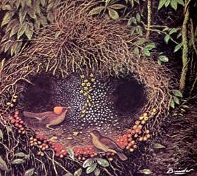 Nido di un uccello giardiniere