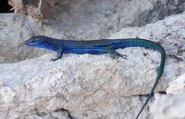 Lucertola azzurra - Podarcis sicula coerule tipica dei Faraglioni di Capri