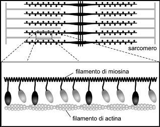 Figura 1. Rappresentazione schematica di un sarcomero, il più piccolo elemento funzionale contenuto nelle fibre muscolari: le molecole di miosina (ovali) sono in parte libere (chiare) e in parte legate (scure) al filamento di actina.