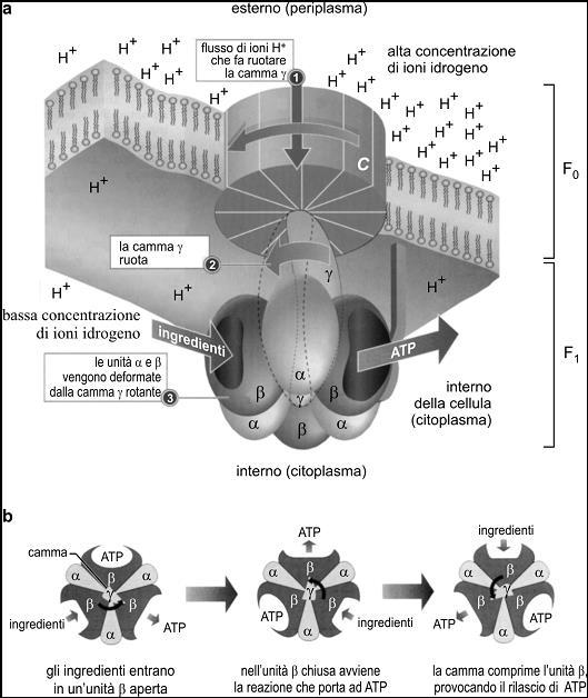 """Figura 2. (a) Illustrazione schematica della 'nanomacchina rotante' naturale che presiede alla sintesi dell'adenosintrifosfato (ATP) a partire da due 'ingredienti', cioè adenosindifosfato (ADP) e fosfato inorganico (Pi). (b) Vista dall'alto che evidenzia come la camma  ruotando deforma i tre siti in cui avviene la sintesi dell'ATP. (Ripresa, con modifiche, da C. O'Driscoll, One man and his motor, in """"Chemistry in Britain"""", settembre 2000, p. 34)."""