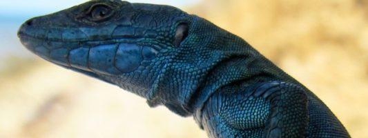 Capri: la terra della lucertola azzurra