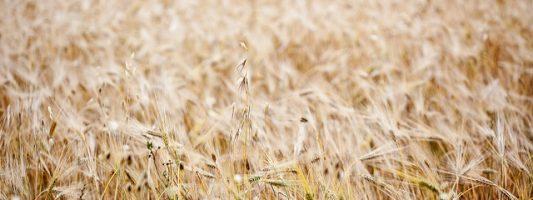 Cereali e lieviti nell'antichità greco-latina