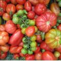 Il pomodoro: dalla tradizione all'innovazione