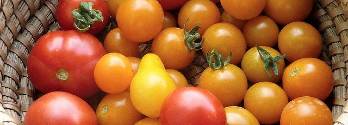 Progettazione e sviluppo di nuovi ibridi di pomodoro