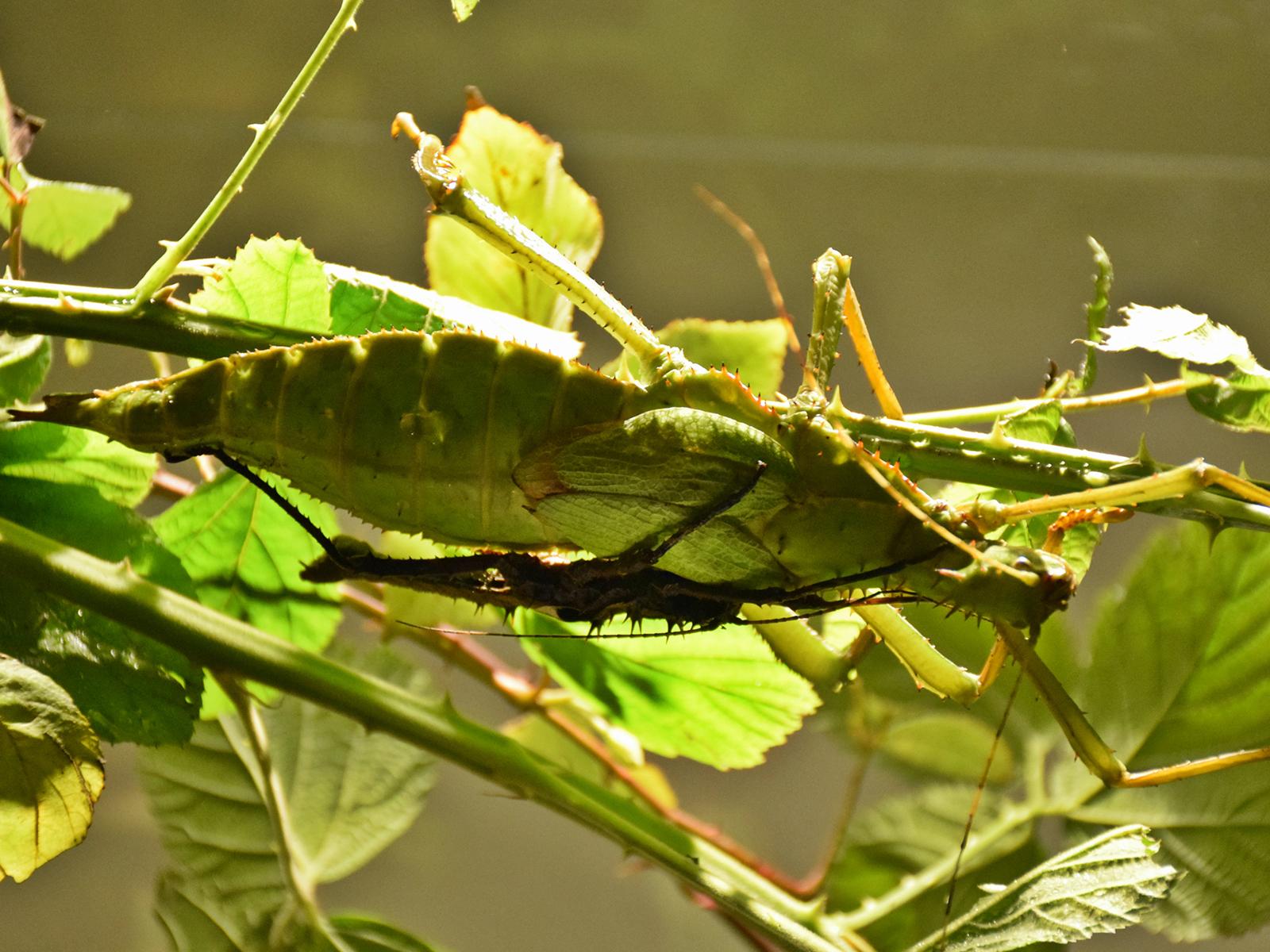 insetti mimetismo